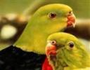 Papağanlar Harfleri Bul Oyunu ile sevimli papağanlarla harf bulma oyunu oynay...
