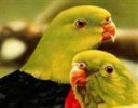 Papağanlar Harfleri Bul